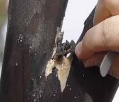 Lawnserve of AR Crepe Myrtle Bark Scale