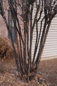 Lawnserve of AR Crepe Myrtle Bark Scale Sooty Mold Little Rock Maumelle Arkansas
