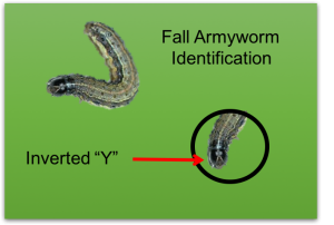 Fall Armyworm Identification